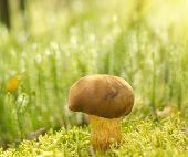Brown Mushroom ' Xerocomus Badius'  In Moss.