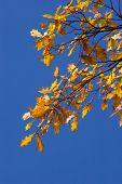 Blätter des Eichenholzes
