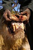 Lion Jaws