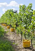 Harvested Riesling White Wine Grapes