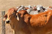 Australian beef herd brown brahman cattle live animals