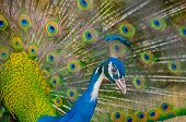 An Indian Peafowl Is Spreading It's Tail-feathers To The Female