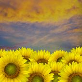 Beautiful Yellow Sunflower Petals Closeup With Space Text On Sky Background