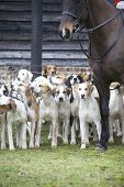 stock photo of bloodhound  - A pack of hunting hounds at the ready - JPG
