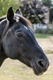 stock photo of cheval  - Close up of a black stallion horse head - JPG