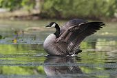 Canada Goose Flapping Its Wings