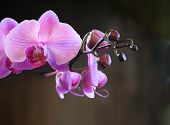 Budding Pink Orchid