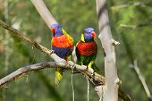 Lorikeet Birds On A Branch