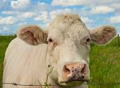 Beautiful Cow In The Grass