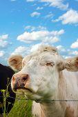 Cute Cow Smell A Flower