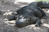 one-eyed alligator