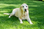 Obedient Labrador Retrever