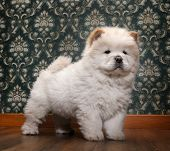 Young Chow-chow In A Retro Room poster