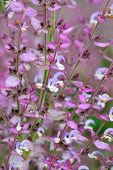 foto of clary  - Salvia sclarea flowers close up in garden - JPG
