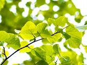 European aspen tree