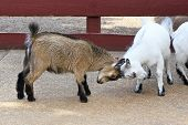 picture of stubborn  - two baby goats butting heads together in barnyard - JPG