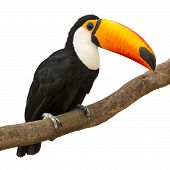 stock photo of toucan  - Toucan  - JPG