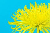 Yellow chrysanthemum on blue background