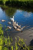 Mother swan swimming with baby cygnets on a canal near Taunton Somerset