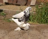 Pigeon Copulation Decorative White Doves