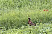 Pheasant Cock Standing Near Some Red Poppies