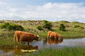 Highland cattle drinking water in Dutch dunes at wadden island Texel