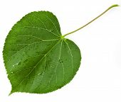 Green leaf linden tree shape heart  isolated on white background