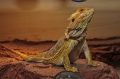 Pogona Beard Dragon