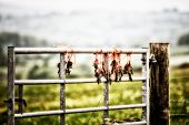 Moles Strung On A Fence