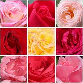 Macro Photos Of Roses