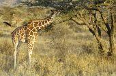 Somali Giraffes Feeding In Bush