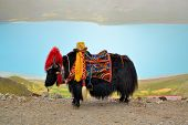 Tibetan Yak at Namtso Lake near Lhasa