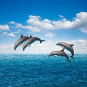 pack of jumping dolphins