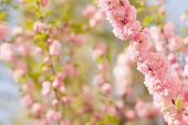 a branch with beautiful pink flowers on natural defocused  background. Amygdalus triloba. very shall