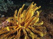 Yellow whip coral underwater