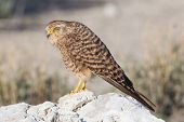 Greater Kestrel (falco Rupicoloides)