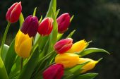 Colorful tulip stems