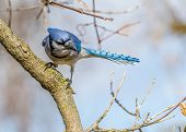 stock photo of blue jay  - A Blue Jay perched on tree branch - JPG