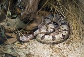 Banded Rock Rattlesnake, Crotalus Lepidus Klauberi