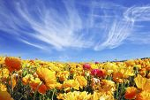 Huge fields of blossoming garden buttercups (Ranunculus asiaticus).  The wonderful spring weather, light cirrus clouds flying across a blue sky. The picture was taken Fisheye lens