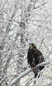 Bald Eagle Perched On Snow  Branch