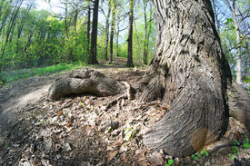 image of birchwood  - Landscape with a solar birchwood - JPG