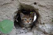 Wee  gray tabby kitten hiding in the hole walls