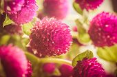 Globe Amaranth Or Bachelor Button Flower Vintage Color
