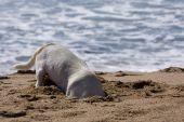 Digging Dog On Beach