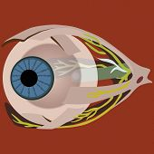 eye muscles vector