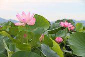 Beautiful lotus flower blooming in early summer