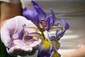 Wedding Rings In Iris Flower