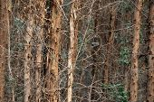pic of contortion  - Sapling in forest with many contorted bare twigs - JPG