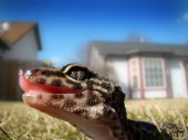 picture of godzilla  - a healthy adult leopard gecko in captivity  - JPG